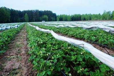 Braškių Auginimas Šiltnamyje Paspartina Uogų Derlių Net Trimis Savaitėmis